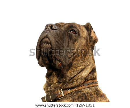 attentive guard - corso dog headshot isolated on white