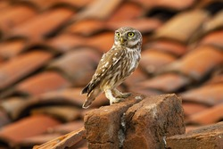 Attentive little owl, athene noctua, sitting on a brick in farmland with red tiled roof in background. Alert wild bird in urban environment looking with copy space. Animal on a old house.