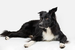 Attentive purebred border collie dog lying on the floor one ear bent, full length portrait looking to camera isolated over white background.