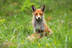 Attentive red fox, vulpes vulpes, observing the surrounding of the wildflower meadow in springtime. Fox with fluffy orange fur sitting in the forest. Female predator in the forest. Concept of freedom.