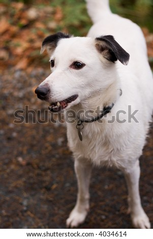 Attentive white dog waits for ball to be thrown