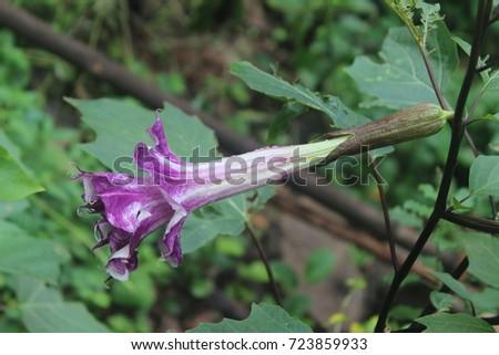 Atthana, Datura metel medicinal plant