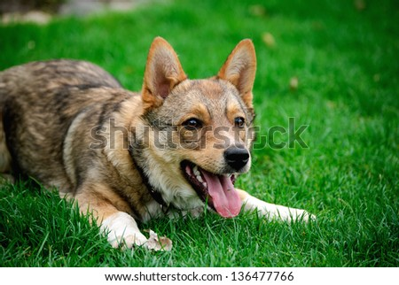 Attractive, cute dog lying on grass and want\'s to play