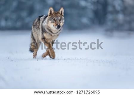 attractive portrait of wolf in snow, wolf running in winter landscape
