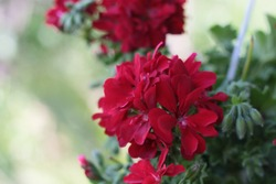 Attractive red sardinia flower in the garden