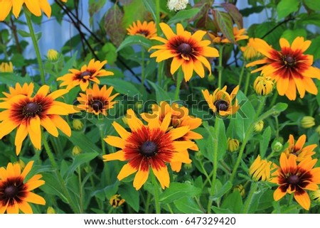 attractive rudbeckia yellow and dark-red flowers are full grown in park garden. #647329420