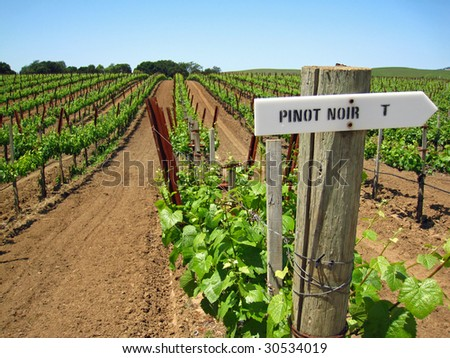 Attractive vineyard in California's Napa Valley in the spring with new growth