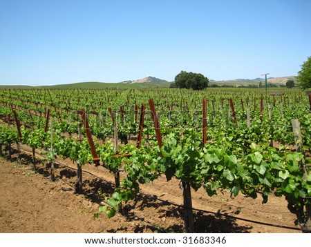 Attractive vineyard in Northern California's Napa Valley, with new spring growth on older vines