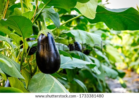 Aubergine eggplant plants in greenhouse with high technology. Aubergine eggplants in plantation  farm. Agricultural Greenhouse with Aubergine vegetables Foto stock ©