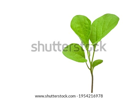 aubergine spring green sprouts closeup. Eggplant sprouts in a clear plastic cup. Growing vegetables at home. Eggplant seedlings. Foto stock ©