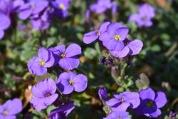 Aubrieta Cascade Purple - Latin name - Aubrieta x superbissima Cascade Purple