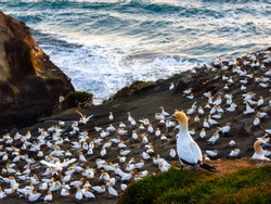 Auckland, New Zealand - September 21 2019: Muriwai Gannet Colony Gannet Looking Over Colony