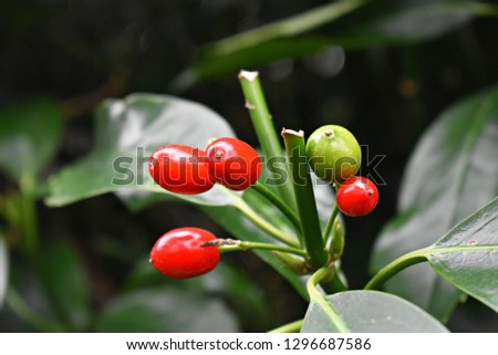 Aucuba Japonica. Japanese Laurel Dentata, commonly called spotted laurel, Japanese laurel, Japanese aucuba or gold dust plant. Family:  Garryaceae   Foliage and red berries in winter.   #1296687586