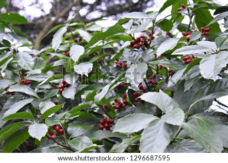Aucuba Japonica. Japanese Laurel Dentata, commonly called spotted laurel, Japanese laurel, Japanese aucuba or gold dust plant. Family:  Garryaceae   Foliage and red berries in winter.   #1296687595