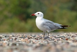 Audouin's Gull - Ichthyaetus audouinii bird standing on the beach, large mostly white gull restricted to the Mediterranean and the western coast of Saharan Africa and the Iberian peninsula.