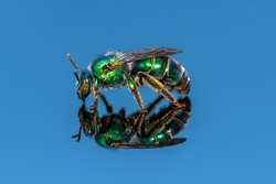 Augochloropsis metallica - Metallic Epaulleted-Sweat bee on blue background