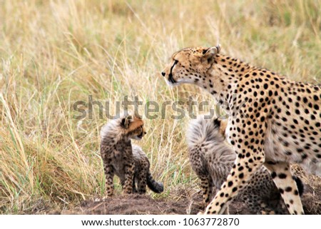AUGUST 2013: African cheetah with his cubs in Masai Mara National Reserve Safari in southwestern Kenia #1063772870