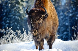 Aurochs (bison) in the wild, in winter, against the background of forest and snow, in their natural habitat. Beautiful landscape with wild animals