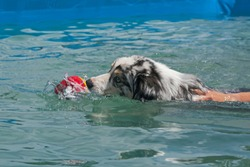 aussie australian shepherd learning to swim and retrieve in an above ground swmming pool showing the hand of the trainer on the dog