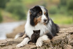 Aussie breed dog (Australian Shepherd) together with a kitten. A dog and a kitten play next to each other