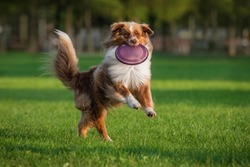 Aussie dog catches frisbee disc. Pet playing outdoors in a park.  Australian Shepherd breed.