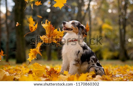 Aussie, the Australian shepherd marble fall in the pile of leaves flying around the leaves of the maple #1170860302