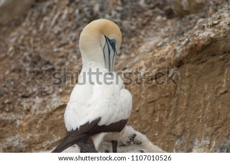 Australasian gannet (Morus serrator). Adult preening at nest. Black Reef Gannet Colony. Cape Kidnappers Gannet Reserve. North Island. New Zealand.