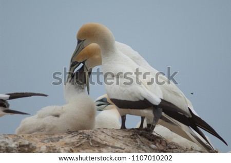 Australasian gannets (Morus serrator). Adult feeding chick. Black Reef Gannet Colony. Cape Kidnappers Gannet Reserve. North Island. New Zealand.