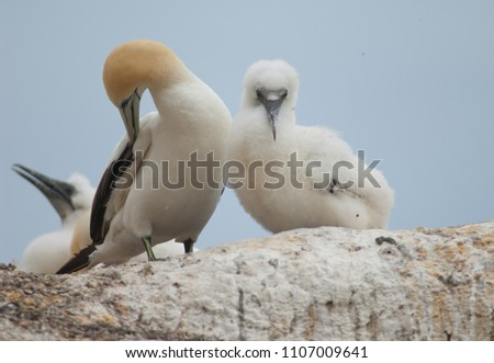 Australasian gannets (Morus serrator). Adult with chick at nest. Black Reef Gannet Colony. Cape Kidnappers Gannet Reserve. North Island. New Zealand.