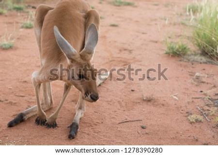 Australia, Alice Springs. Female kangaroo.