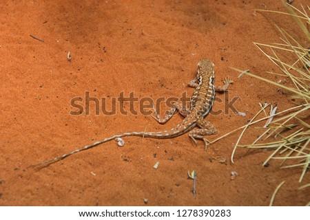 Australia, Alice Springs. Military Dragon.