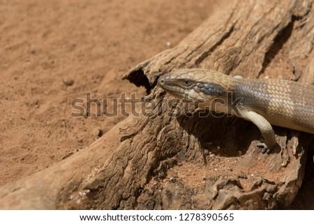 Australia, Alice Springs. Western Blue-tongued lizard (Tiliqua occipitalis) on a log in desert habitat.