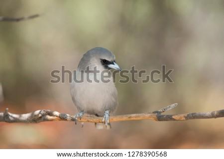Australia, Alice Springs. Woodswallow.