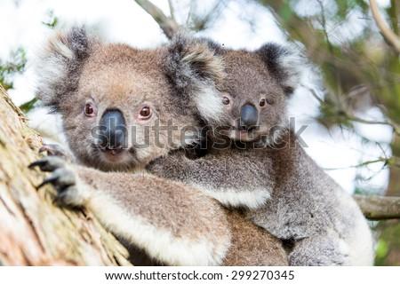 Australia Baby Koala Bear and mom. #299270345