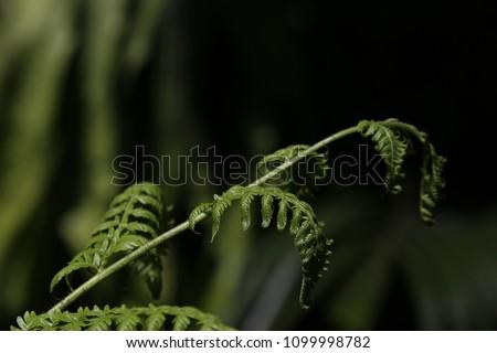 Australia fern, crians  Foto stock ©