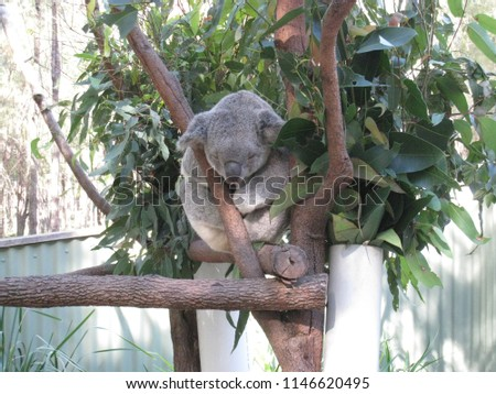Australia Koala bear #1146620495