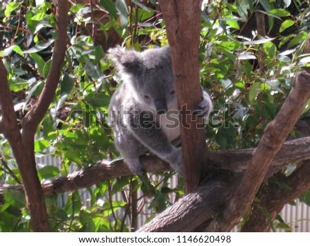 Australia Koala bear #1146620498
