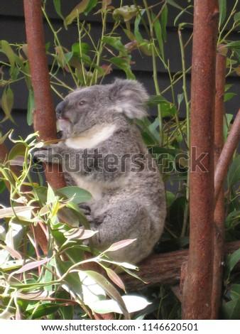 Australia Koala bear #1146620501