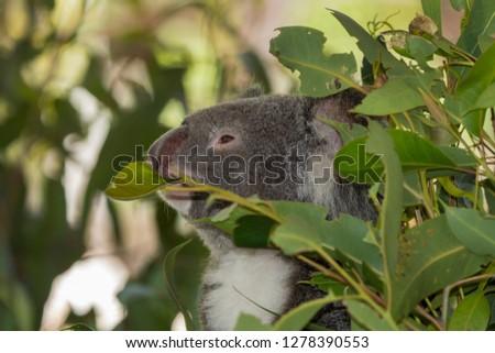 Australia, Queensland, Townsville. Koala (Phascolarctos cinereus).