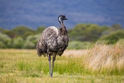 Australia Wild Emu found in national park