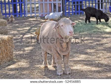 stock photo australian adult merino sheep on the farm 52456885 www.tahoemediacenter.com Download broadcast quality MPEG 2 footage ...