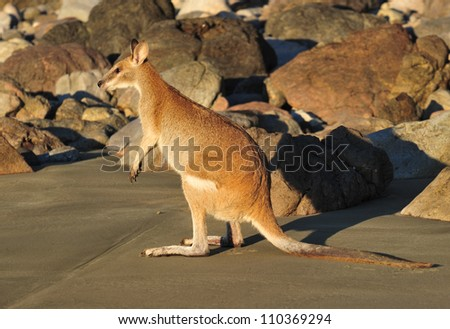 Australian agile wallaby on beach, cape hillsborough, mackay, north queensland. small exotic mammal kangaroo on tropical sandy hideaway