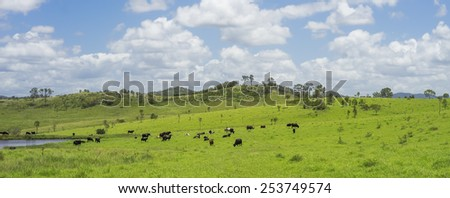 Australian Agriculture Beef Cattle Farming in Queensland with lush green pasture after good rain
