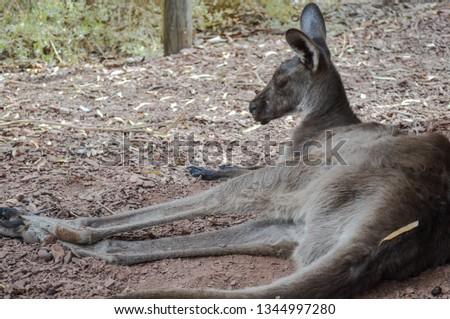 Australian Animals Kangaroo #1344997280