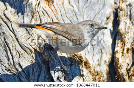 Australian Avian Dinosaurs #1068447011