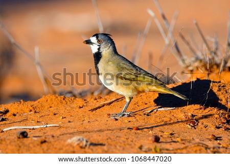 Australian Avian Dinosaurs #1068447020