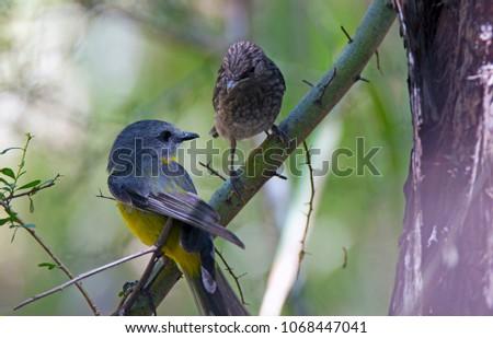 Australian Avian Dinosaurs #1068447041