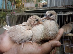 Australian Baby Pigion On hand