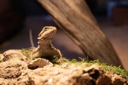 Australian bearded dragon lizard. Agama lizard lies on a log on wood background. close-up, exotic reptiles. Leatherback Translucent het Hypo Morph. pogona vitticeps lizard.