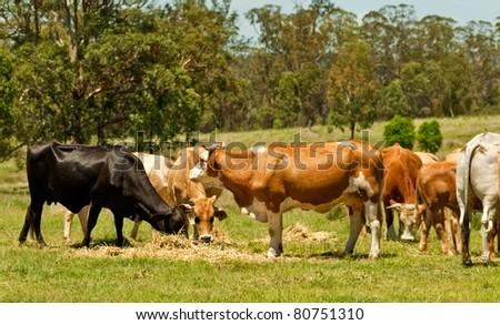 Australian beef cattle cows feeding on lucerne hay